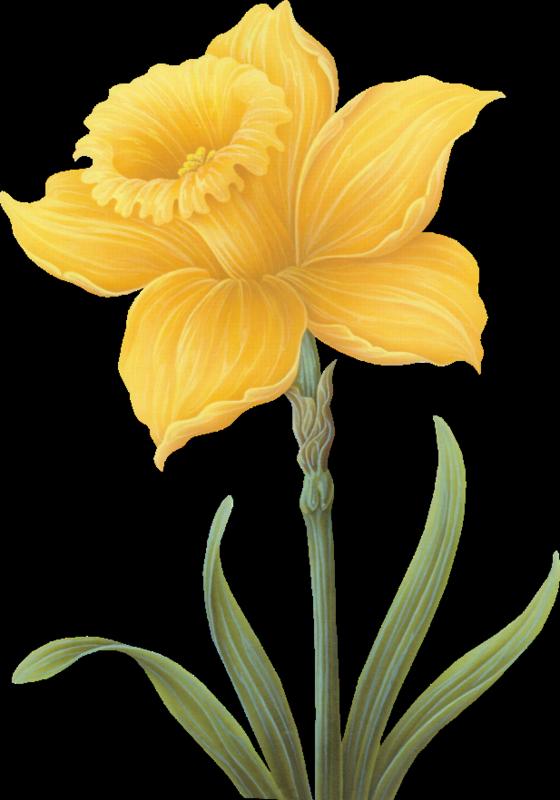 Jonquille - Dessin jonquille fleur ...